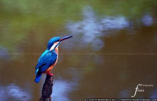 Small Blue Kingfisher