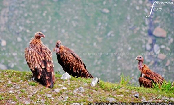 Himalayan Vultures1