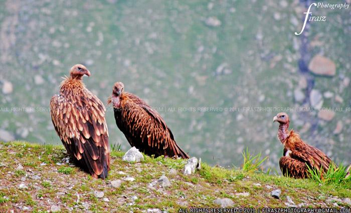 Himalayan Vultures