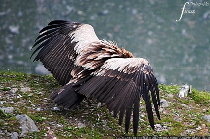Himalayan Vulture stretching wings