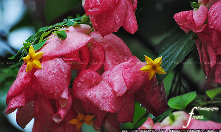 Flower name: Mosanta
