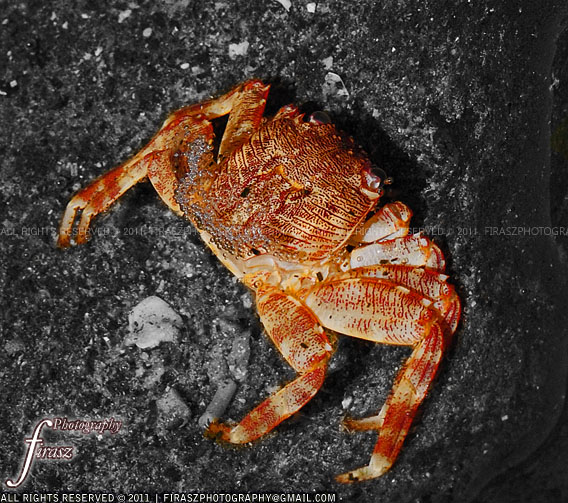 Single crab