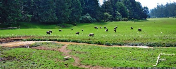 Grasslands of Ooty