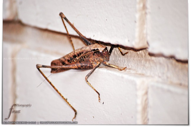 The Giant Grasshopper