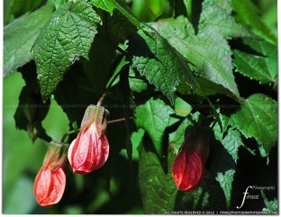 Abutilon (Bell shaped flower)