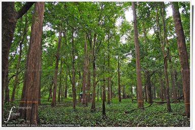 Teak forest 1