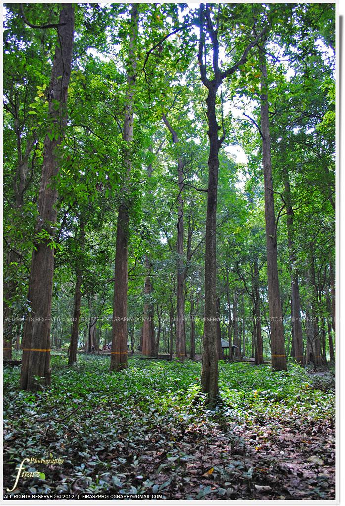 Teak forest2