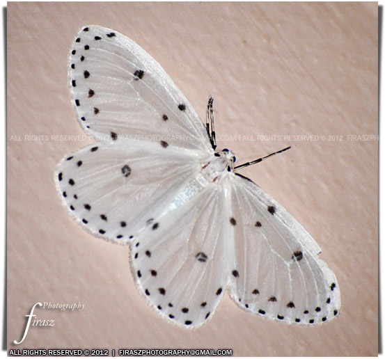 Black dotted white moth