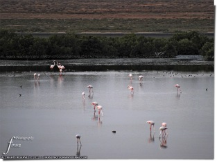 flamingos1