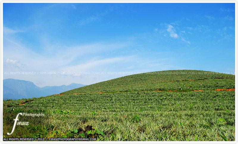 Pineapple farms of Wayanad, Kerala