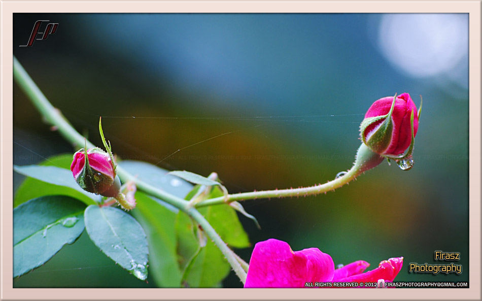 Tension of spider web strands, holding rose buds