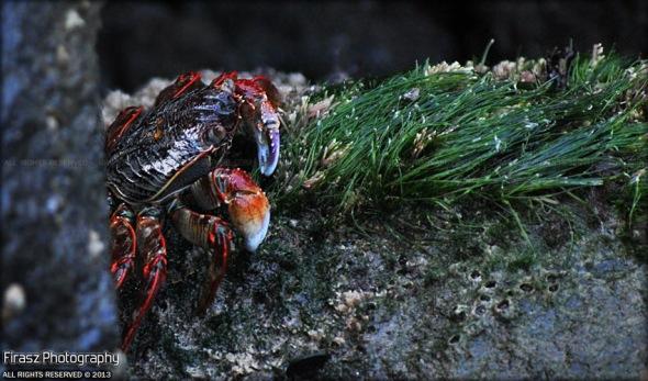 Crabs of Kappad