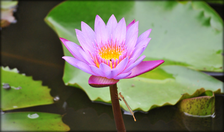 A lotus charm