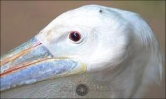 Oval Eyes6