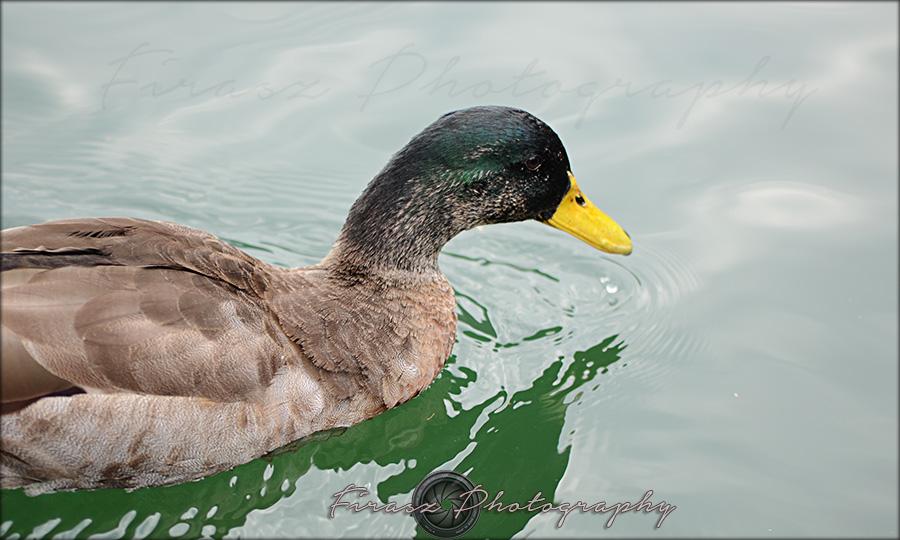 Quack a quack2