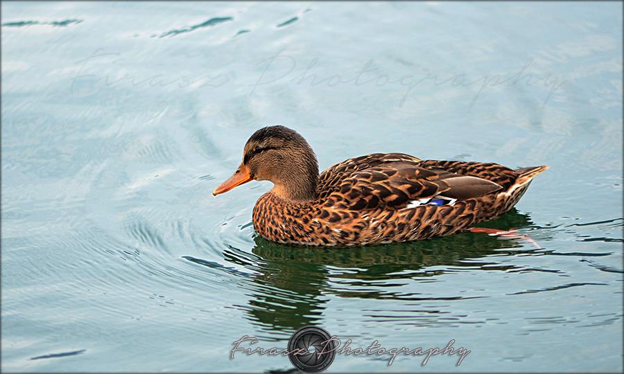 Quack a quack3