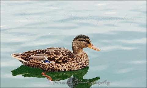 Quack a quack1