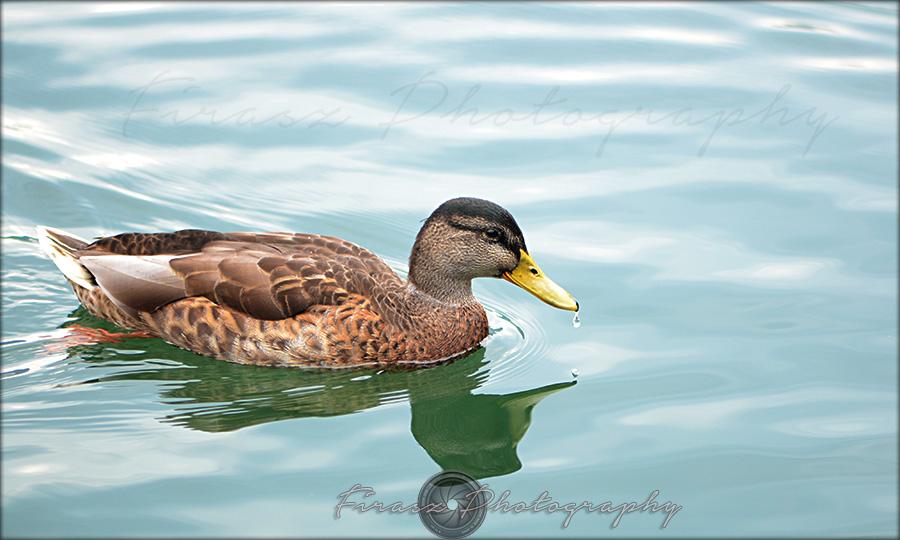 Quack a quack7