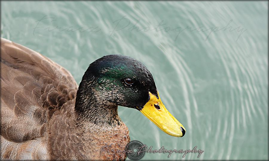 Quack a quack5