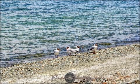 Pangong Birds1