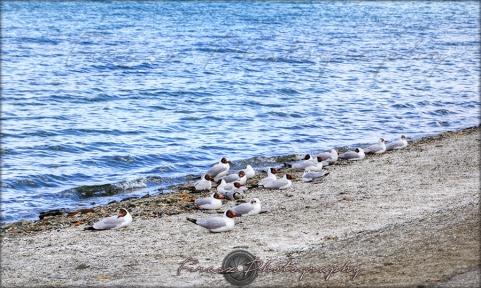 Pangong Birds3