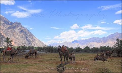 Himalayan Camels2
