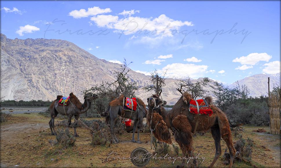 Himalayan Camels1