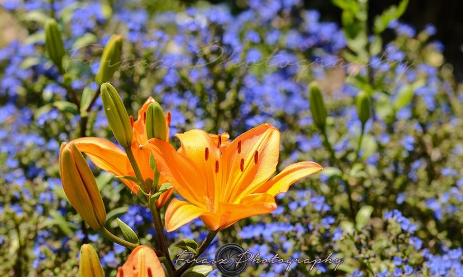 Kashmir Bouquet6-Asiatic Lily