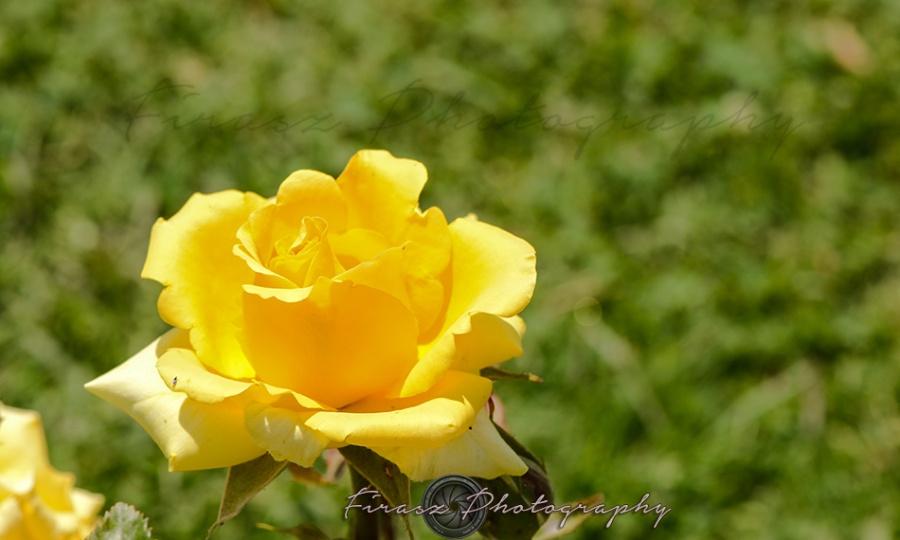 Roses3-yellow