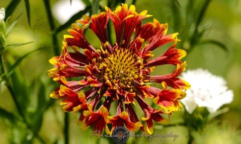 Kashmir Bouquet8-Gaillardia