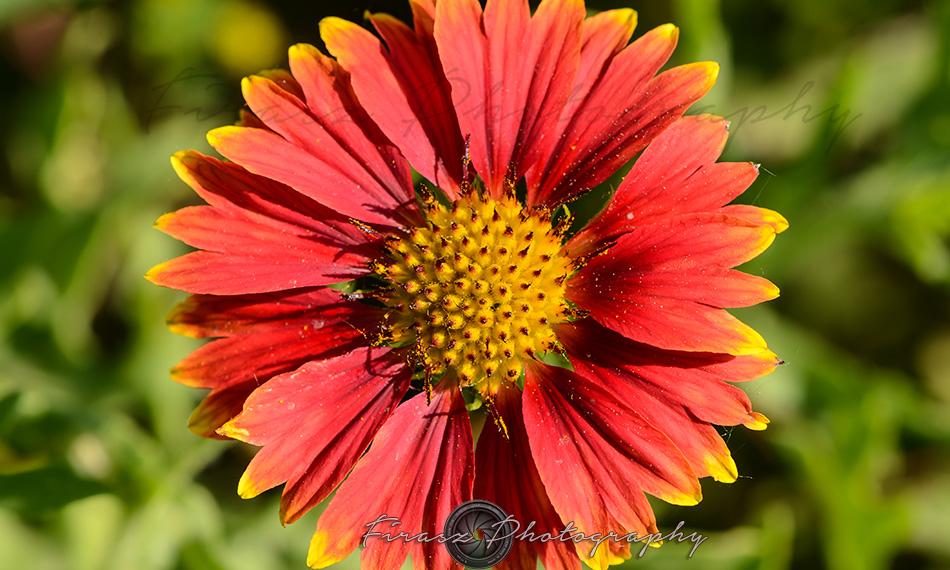 Kashmir Bouquet9-Gaillardia