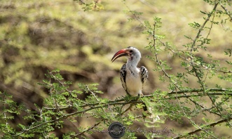 Red-billed Hornbill1