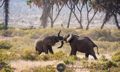 Mammoths of Samburu2