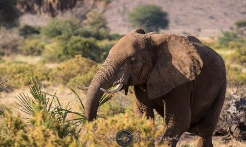 Mammoths of Samburu3
