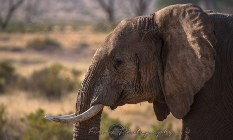 Mammoths of Samburu1