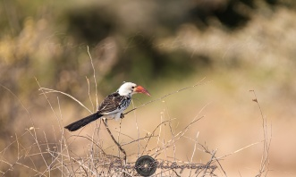 Red-billed Hornbill2