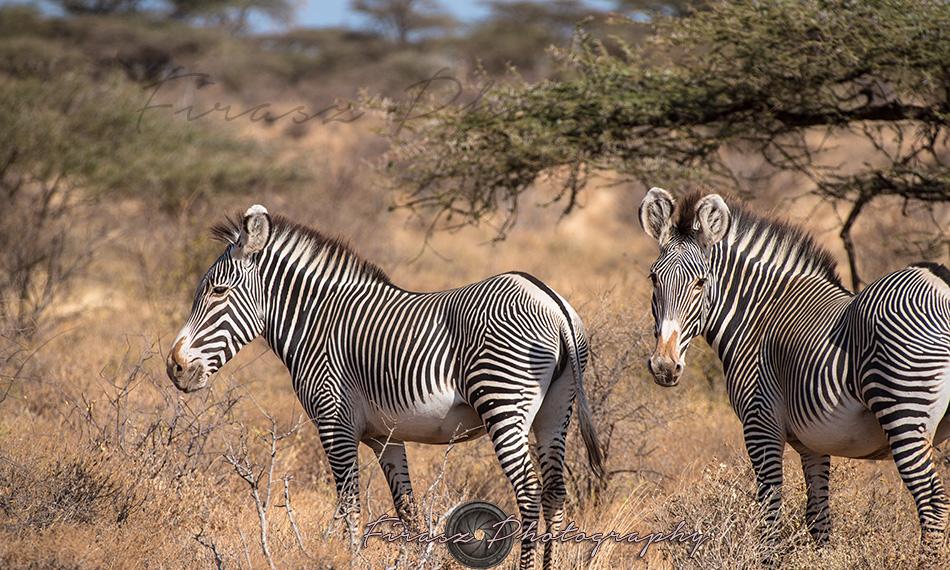 Imperial Zebra1