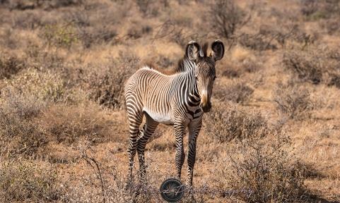 Imperial Zebra5