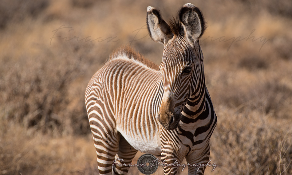 Imperial Zebra6