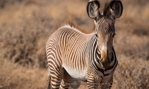 Imperial Zebra2