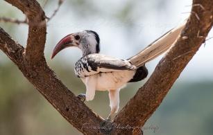 Red-billed Hornbill3