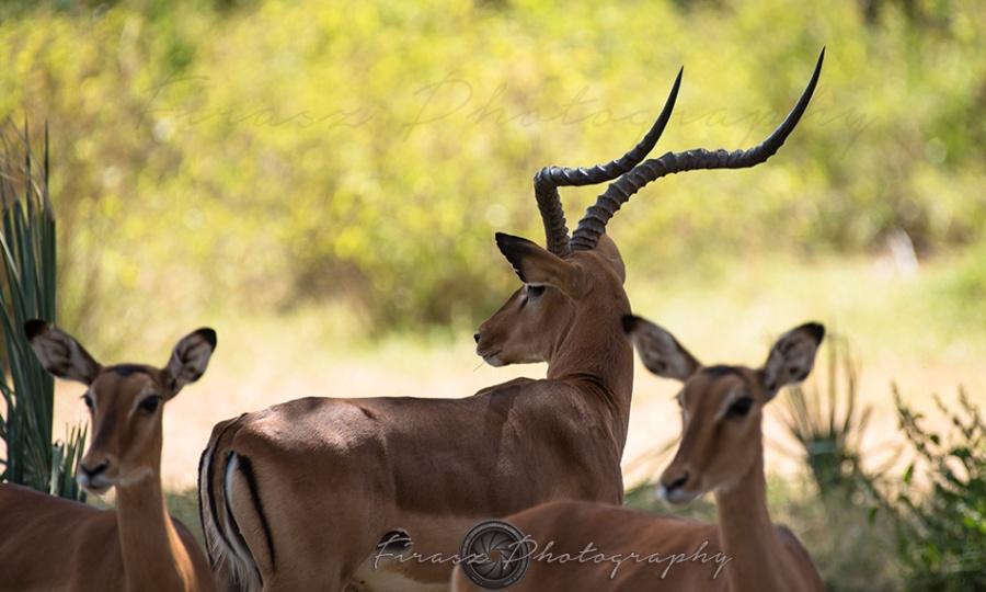 Impala Horns2