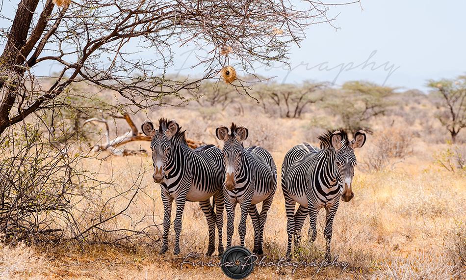 Imperial Zebra4